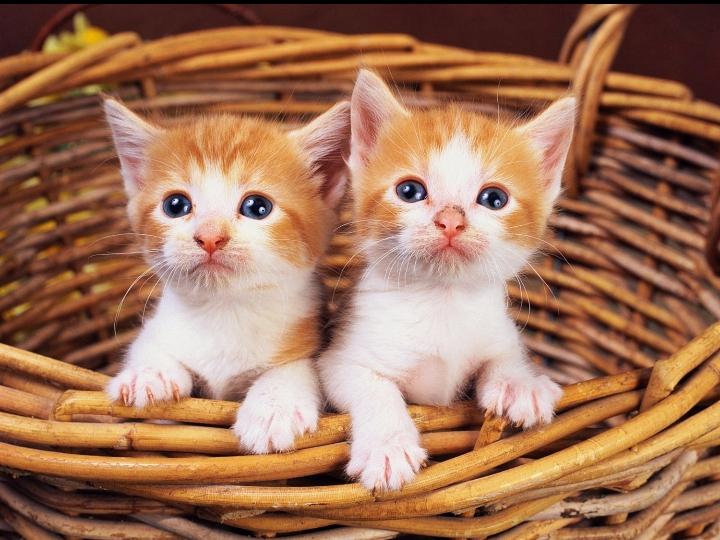 sevimli ikiz kediler